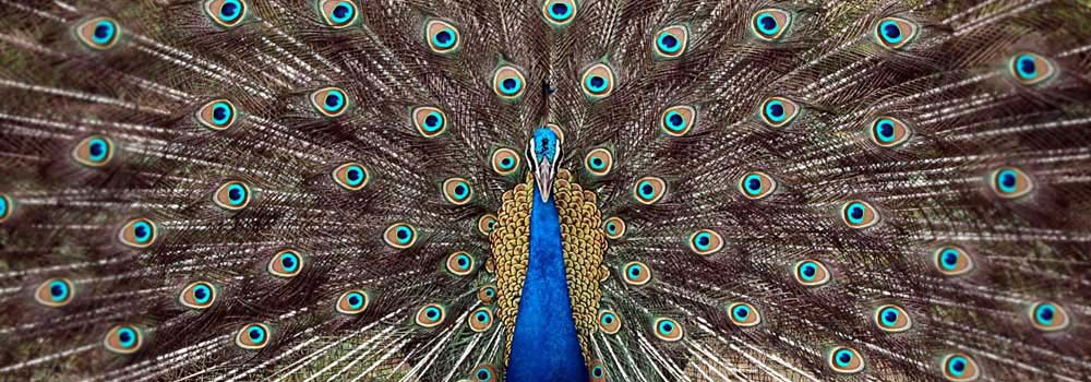 a discussion on the physical basis of the beauty in peacock feathers A male peacock's stunning tail feathers though never explicitly referenced in beauty, a contemporary discussion over los angeles review of books, 6671.